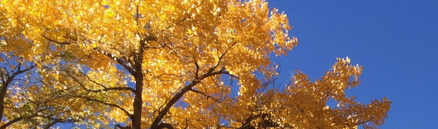 Golden cottonwoods against the blue sky